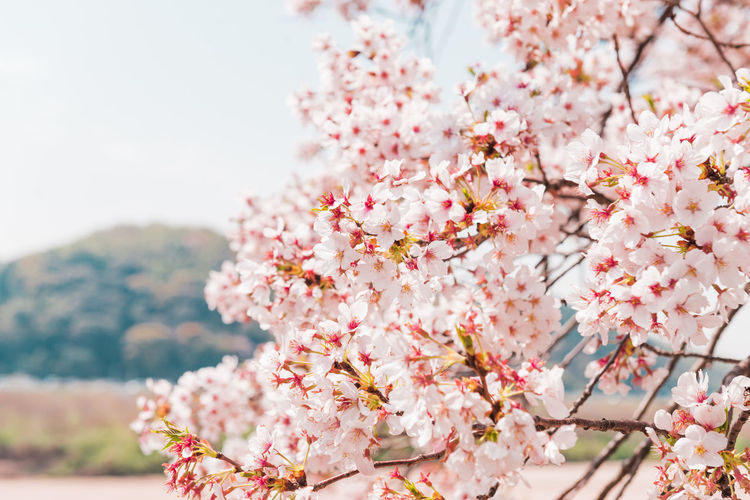 Pink Cherry blossom or sakura flower with blue sky in spring season at Japan Flowering Plant Flower Freshness Plant Pink Color Beauty In Nature Blossom Fragility Tree Springtime Vulnerability  Growth Cherry Blossom Branch Nature Day Close-up Focus On Foreground Cherry Tree Outdoors No People Flower Head Bunch Of Flowers Softness Sakura Hanami