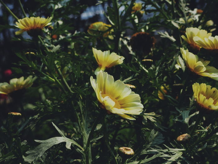 Beauty In Nature Blooming Blossom Botany Close-up Day Field Flower Flower Head Focus On Foreground Fragility Freshness Grass Green Color Growing Growth In Bloom Nature No People Outdoors Petal Plant Selective Focus Stem Yellow The Week On EyeEm