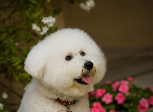 Bichon dog portrait Bichon Frise Dog Toy Dog Group Animal Themes Bichon Bichon Frise Close-up Day Dog Domestic Animals Flower Mammal No People Non-sporting One Animal Outdoors Pets White Color