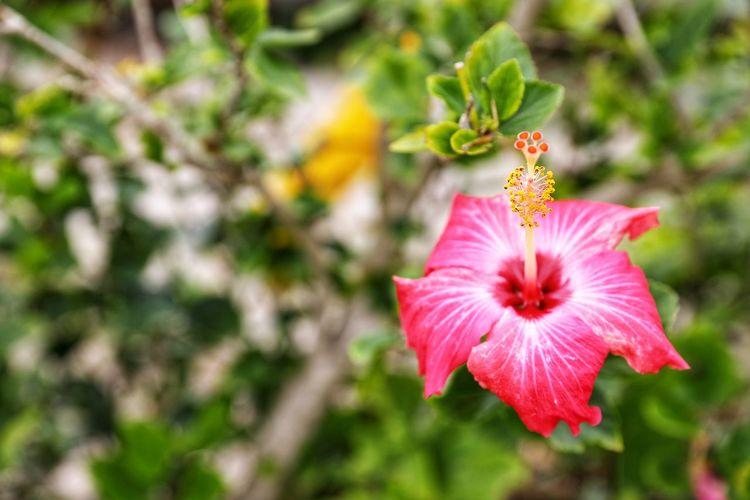 여름이 오나.. - 히비스커스 . . #하루한컷 #히비스커스 #꽃 #5DMARK4 #신계륵 #EF2470F28LIIUSM Flower Head Flower Hibiscus Petunia Pink Color Petal Close-up Plant