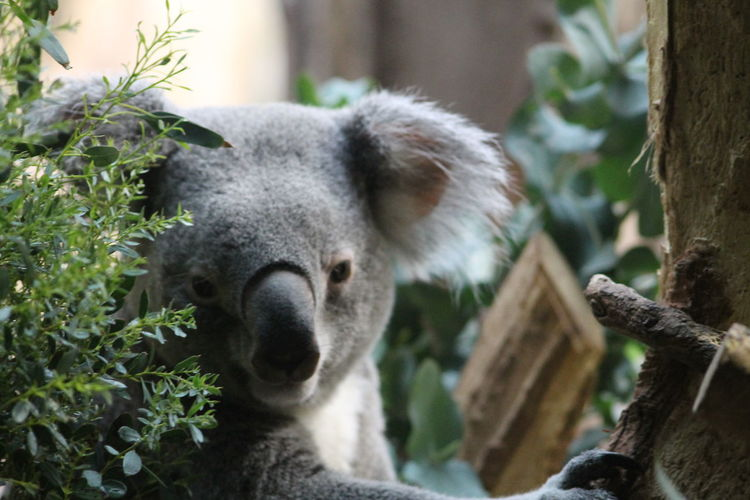 Close-up of a koala on tree trunk