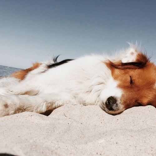 Sleeping dog on