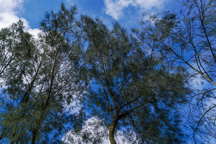 Shady trees of Mount Bromo. Tree Plant Sky Low Angle View Blue Cloud - Sky Beauty In Nature No People Tranquility Nature Branch Day Scenics - Nature Outdoors Growth Backgrounds Tranquil Scene Forest Tree Canopy  Directly Below Coniferous Tree Bromo Bromo-tengger-semeru National Park Bromo Mountain Forest Photography