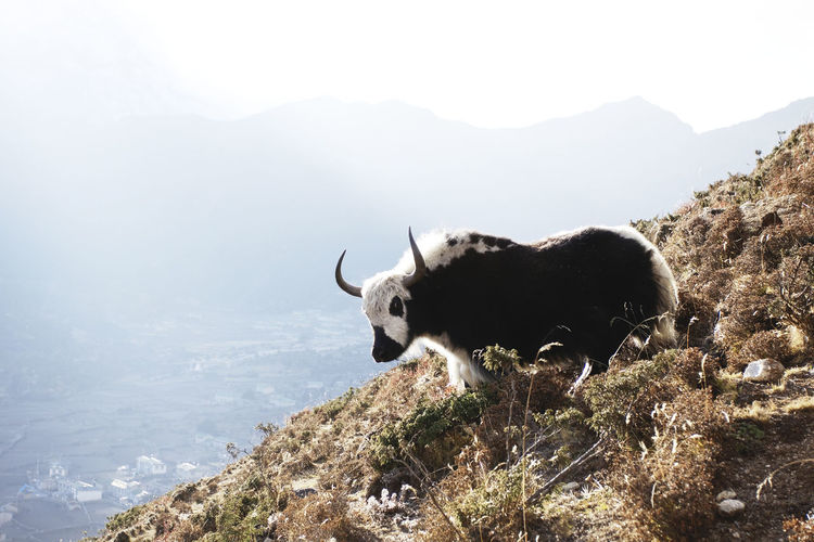 View of an yak on rock