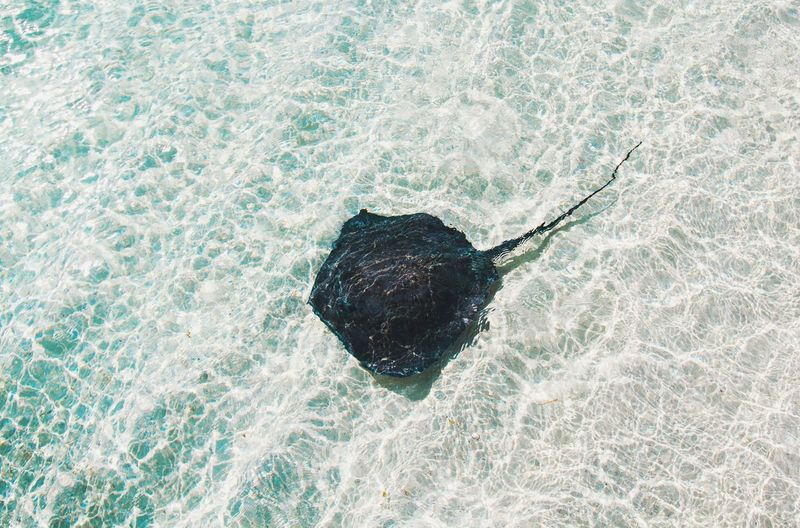 High angle view of stingray in water