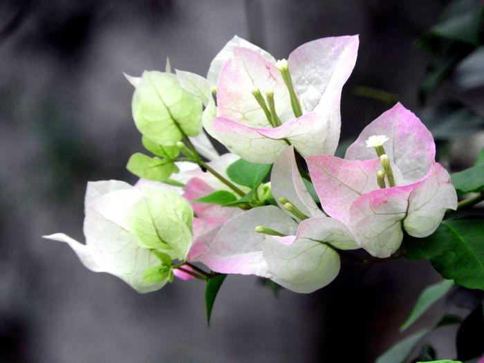 Blooming Bougainvilleas Flower Head Flower Leaf Petal Close-up Plant