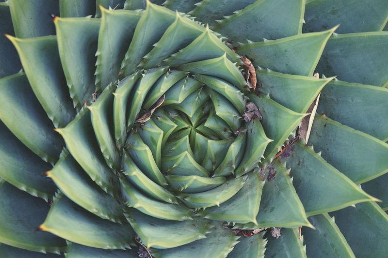 Full frame shot of spiral aloe