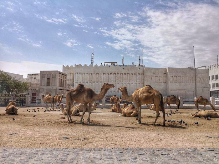 Doha Qatar Souq Waqif Nature Desert Sand Togetherness Sky Cloud - Sky Camel Group Of Animals