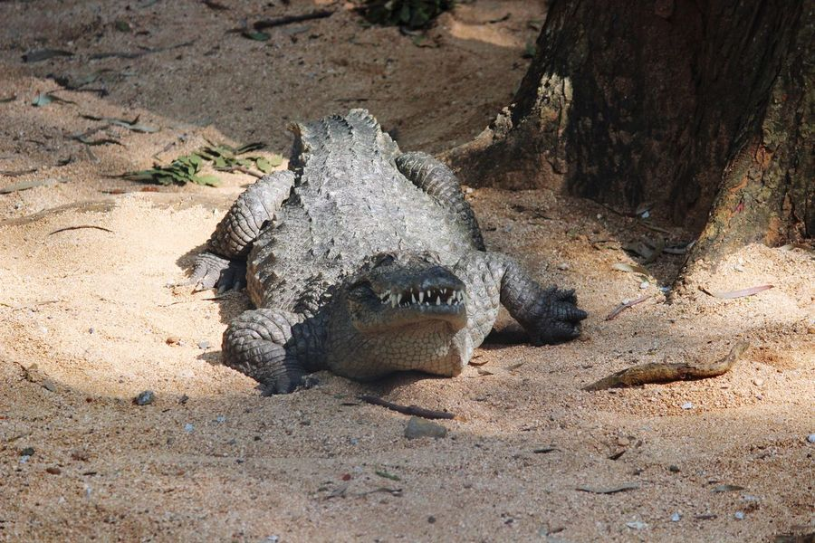 CROCODILE EyeEm Selects Sand One Animal Nature Day Animals In The Wild No People Sunlight Outdoors