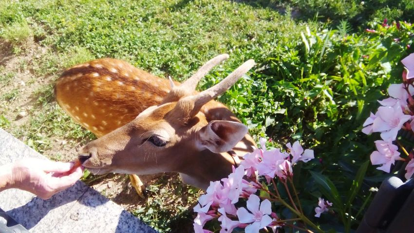 Fawn among the flowers Fawn😍 Fawn Lying In The Grass Animal Themes Animal Photography Animals In Captivity Human Hand Flower Pets High Angle View Fawn Moose Flower Head Pink