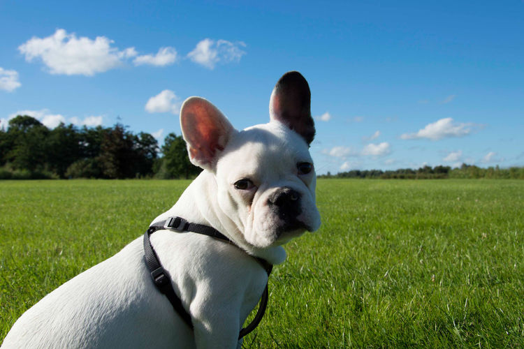 EyeEmNewHere Animal Themes Close-up Cloud - Sky Day Dog Domestic Animals Field French Bulldog Grass Mammal Nature No People One Animal Outdoors Pets Portrait Sky