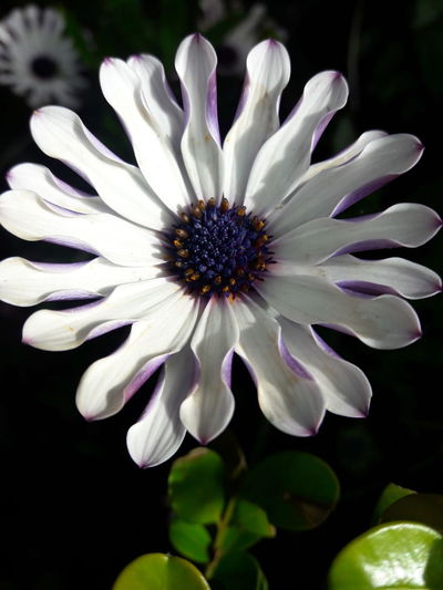 Flower Flower Head Fragility Petal Beauty In Nature Nature Freshness Close-up Growth Pollen Plant Outdoors No People Day Daisy African Daisy