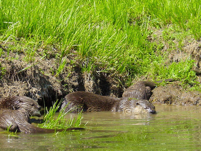 Grassy Muddy Water Reflections Nature Photography Otters! Outdoors Photograpghy  Scenic