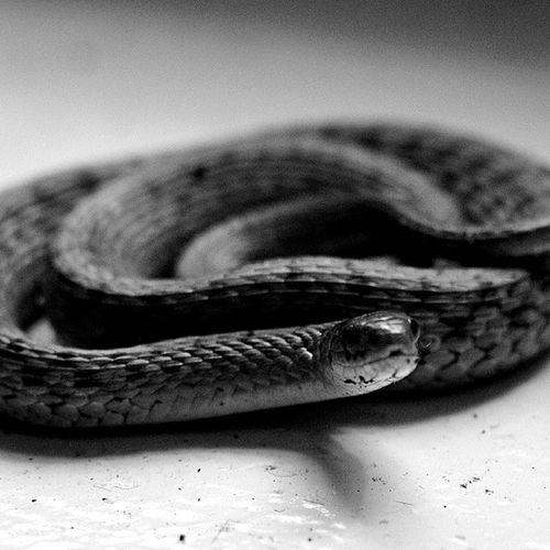 Nothern brown snake Virginiansnake Nothernbrownsnake Snake Blackandwhitephotography