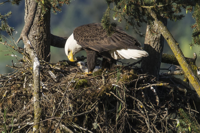 North American bald eagles tend to their daily duties, including their recently hatched eaglet in Eugene, Oregon. April 19th, 2016. Animal Themes Avian Beauty In Nature Bird Bird Of Prey Day Focus On Foreground Nature No People Outdoors Perching Tree Wildlife Bald Eagle Raptor Nest Eaglet Telling Stories Differently