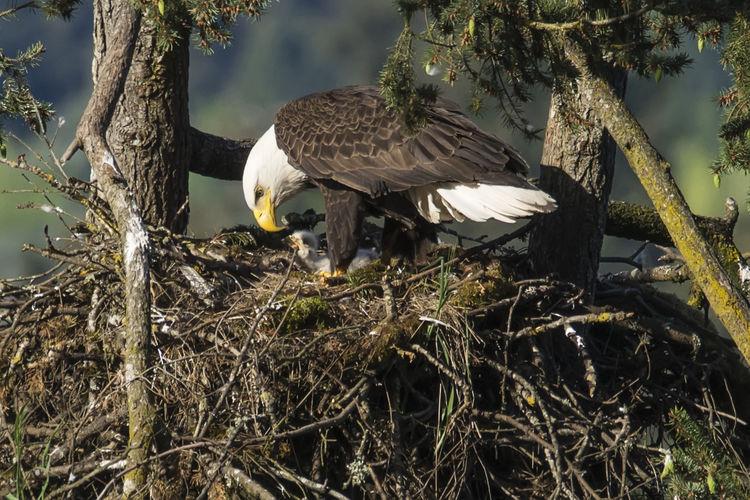 Bald Eagle With Eaglet In Nest