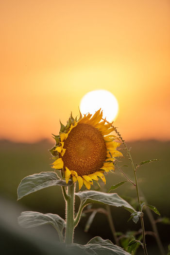 Close-up of sunflower on field against orange sky