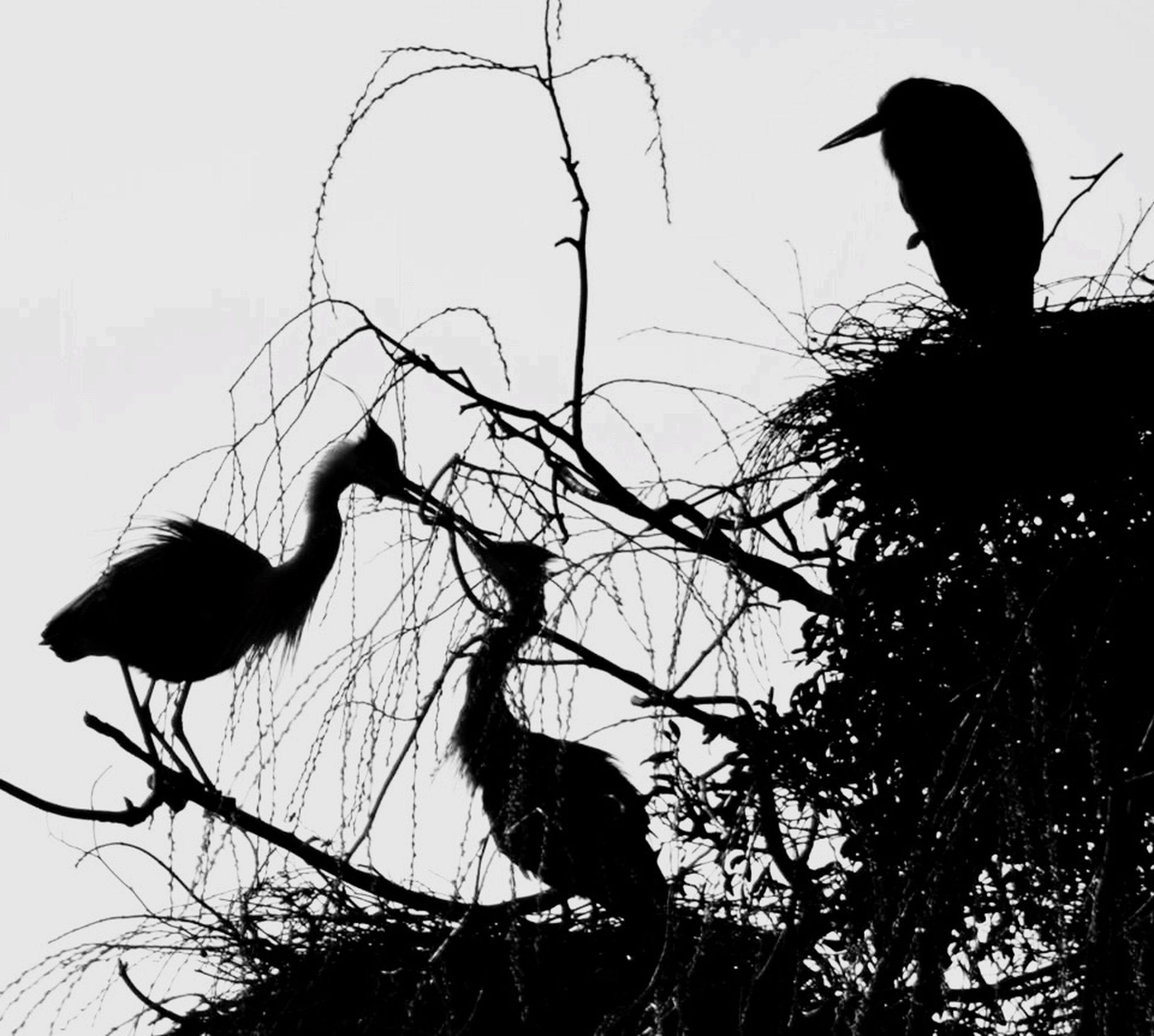 bird, animal themes, animals in the wild, wildlife, low angle view, silhouette, branch, bare tree, tree, perching, one animal, sky, clear sky, two animals, nature, outdoors, avian, dusk, no people, tranquility