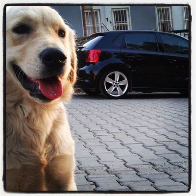 VW Vwpolom Vwpoloclub Goldenretriever pololo polo 6r incredible instagood sun boavista she black pearl rabbit