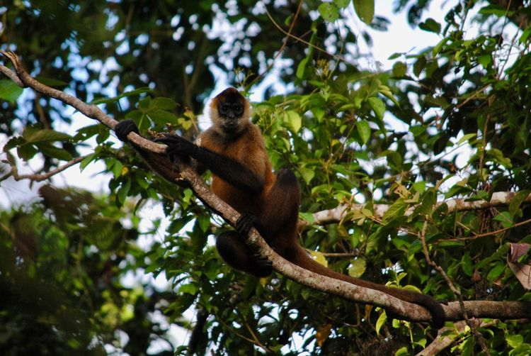 Spider monkey posing for the photo Tree Animal Wildlife Animal Themes Branch Animal Primate Animals In The Wild Mammal Monkey Ape Outdoors Tree Canopy  Leaf Forest Rainforest Vertebrate One Animal Nature No People Spider Monkey My Best Photo My Best Photo