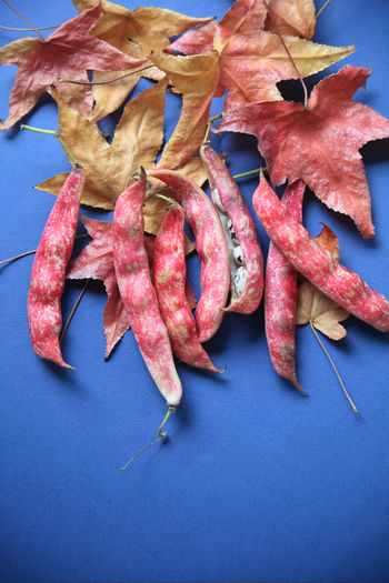 Close-up of cranberry beans with maple leaves on blue table
