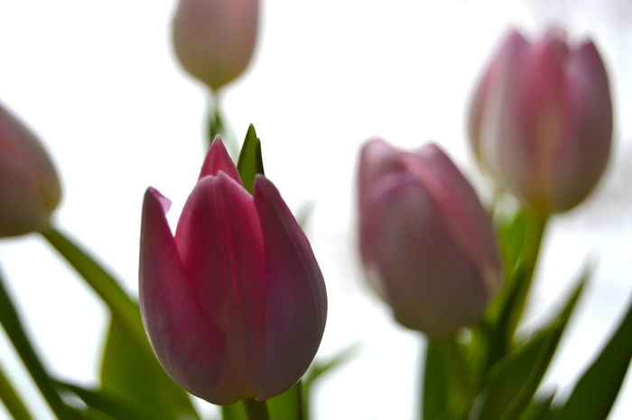 Beauty In Nature Bunch Of Flowers Close-up Day Flower Flower Arrangement Flower Collection Flower Head Flower Photography Flowers Fragility Freshness Indoors  Leaf No People Pink Color Plant Spring In Winter Tulips Flowers Tulips🌷 White-pink Tulips