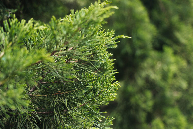 Beauty In Nature Close-up Day Green Green Color Growth Nature Needle No People Outdoors Plant