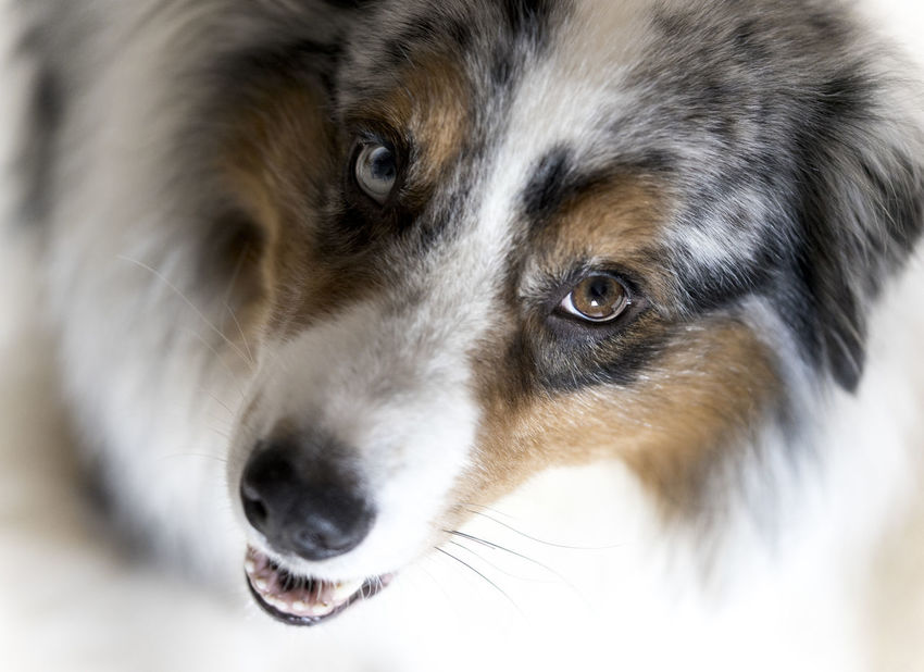 Dog portrait with special point of view Australian Shepherd  Blue Merle Playing With The Animals Animal Head  Animal Photography Animal Themes Blue Merle Dogs Blue Eye Bokeh Brown Eye Close-up Day Different Eyes Dog Domestic Animals Hide Indoors  Looking At Camera Mammal No People One Animal Pets Point Of View Portrait Sheepdog