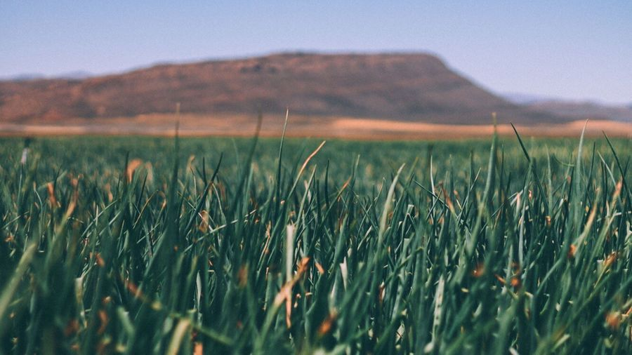 onion fields. Growth Nature Field Tranquility Beauty In Nature No People Landscape Outdoors Grass Mountain Scenics Close-up Day EyeEm Gallery Onions