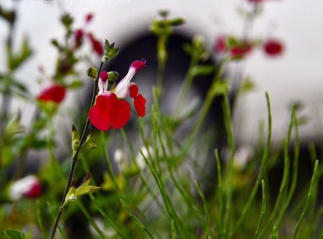 Flower Growth Red Nature Plant Fragility Freshness Focus On Foreground Outdoors Flower Head Beauty In Nature Flower Photography Flowerporn Flowerphoto Flowerstagram Flowerhead Flower Collection