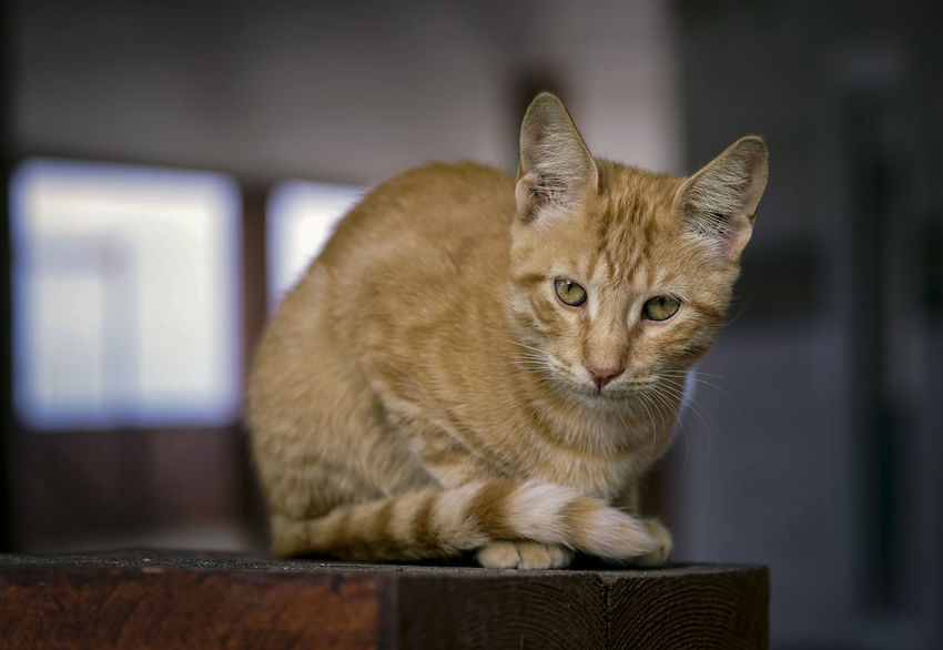 Domestic Cat Pets Domestic Cat Feline Mammal Domestic Animals One Animal Focus On Foreground Indoors  Sitting Portrait Vertebrate No People Looking At Camera Whisker Close-up Ginger Cat Tabby