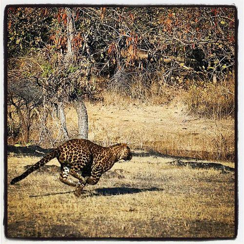 GirLeopard Speeddemon CatOnNitrous Fast Beast