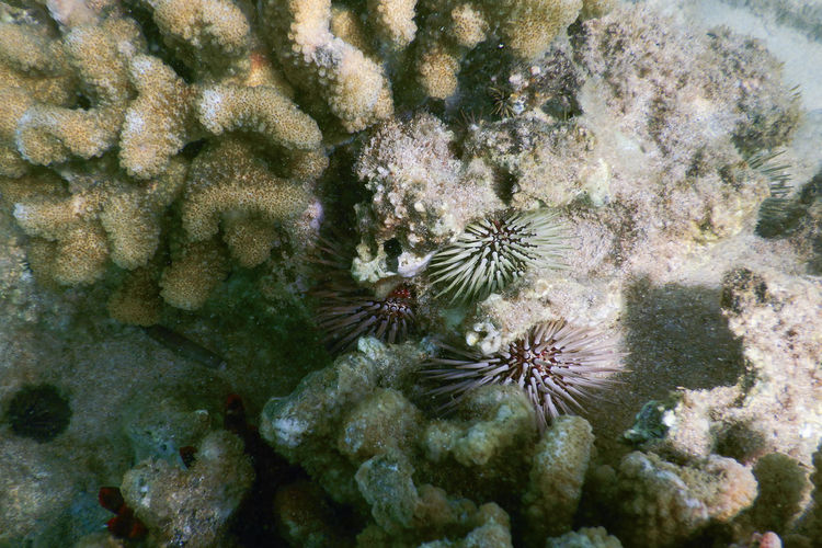 Beauty In Nature Close-up Coral Nature Outdoors Reef Sea Sea Life UnderSea Underwater Water Sea Urchin