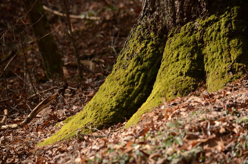 Plant Tree Trunk Land Tree Trunk Moss Growth Forest Selective Focus Nature No People Beauty In Nature Day Close-up Tranquility Field Green Color Outdoors Plant Part Leaf WoodLand