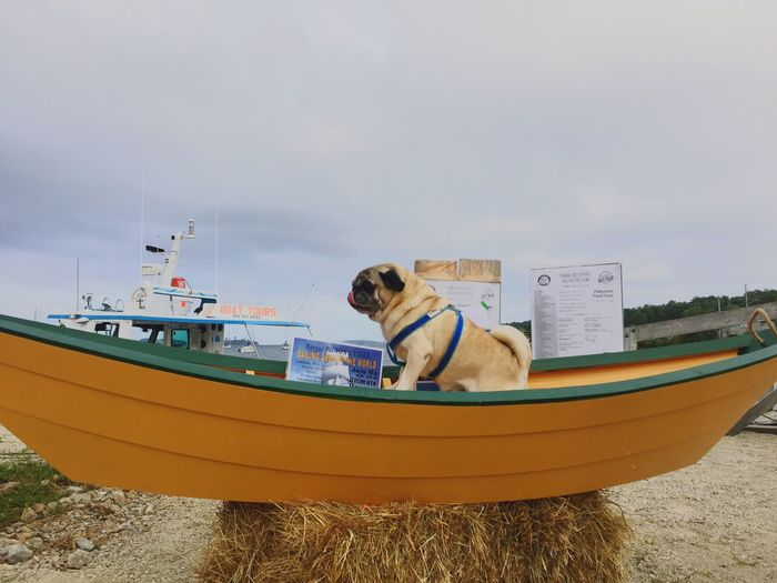Mode Of Transport Transportation Boat Sky Beach Sea Outdoors Sitting Day Moored Pug Pug Life  Pugs Mahone Bay, NS, Canada Boats⛵️ wWaternNaturedDogsSandcCloud - SkyfFull LengthpPets Breathing Space
