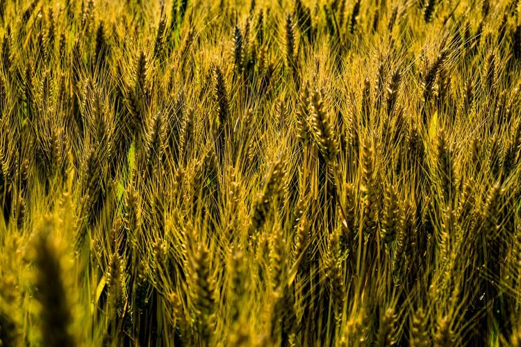 Vollkorn - Passt auf jedes Frühstücksbrett ... Growth Plant Agriculture Crop  Cereal Plant Land Field Farm Rural Scene Beauty In Nature Full Frame Landscape No People Nature Backgrounds Tranquility Close-up Green Color Wheat Day Outdoors The Devil's In The Detail