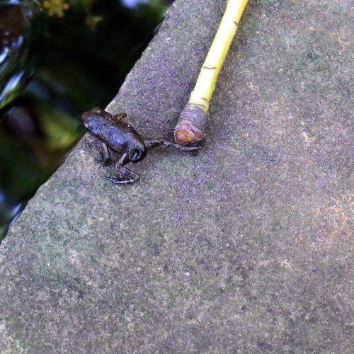 やっぱり帰る… Tadpoles Frog オタマジャクシ オタマジャクシ カエル