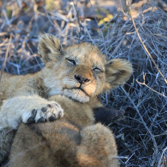 Sabi Sands Lions Lion Cub Wildlife Photography Wildlife & Nature African Beauty Africa Save The Nature Animal Themes Animallovers Animal Portrait Animal Collection Animal Love Wildlife Photos Wild Animal Wilderness Animal Photography Animals In The Wild