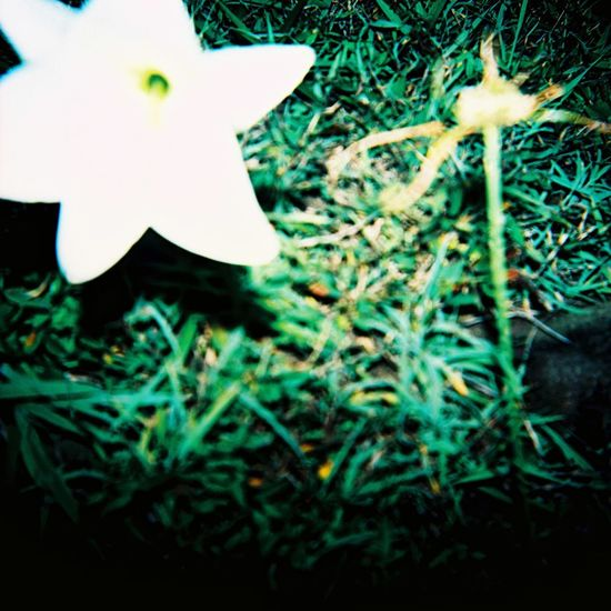 Lomography Tao  Beauty In Nature Close-up Day Field Flower Flower Head Flowering Plant Fragility Freshness Grass Green Color Growth High Angle View Land Lilies Mushroom Nature No People Outdoors Plant Selective Focus Vulnerability