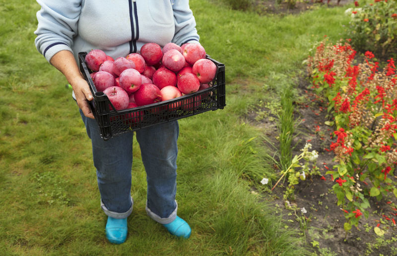 The farmer gathered in the garden a harvest of red ripe apples in a plastic basket Agriculture Apple - Fruit Basket Container Day Field Food Food And Drink Freshness Fruit Grass Growth Harvesting Healthy Eating Holding Land Nature One Person Organic Outdoors Plant Ripe Wellbeing