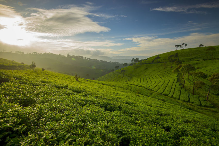 Tea Field in The morning with the blue sky Agriculture Beauty Field Green Color Green Tea Healthy Eating In A Row INDONESIA Mountain Rural Scene Sky Sunrise Sunrise_Collection Sunset Tea Crop Tea Field