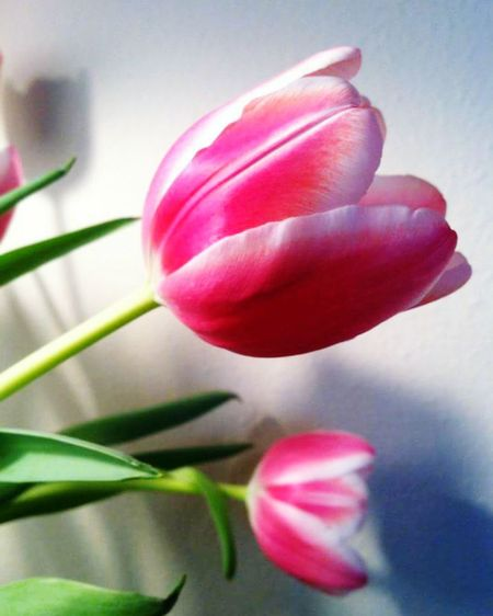 Tulip Tulips Flower Photography Flowers, Nature And Beauty Blooms Taking Pictures Pink Flower Pink Tulips Pink Flowers Pink Tulip White Background Pink Tulips Bloom Indoor Macro_collection Close Up Flower Eyem Nature Beauty In Nature Flower Flowers Flower Power Flower Porn Flowering Flowers_collection Eyemphotography The Most Beautiful Flowerlovers Pink Tulip