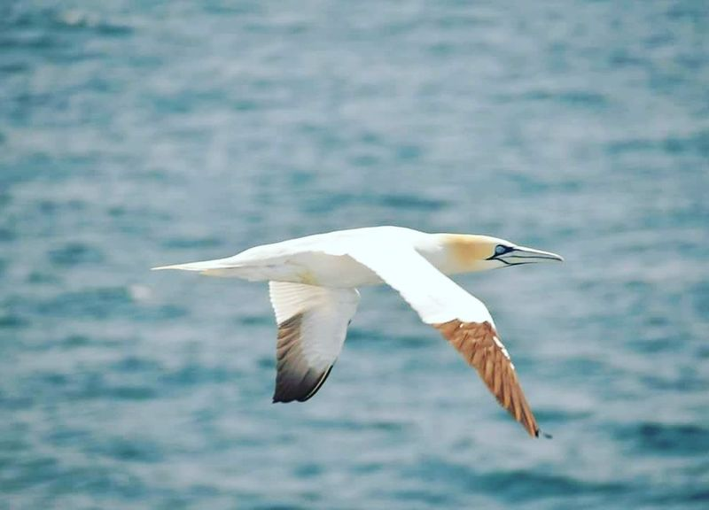 Jan Van Gent Bird Flying Spread Wings Animal Wildlife Animals In The Wild Sea No People Day Nature Outdoors Close-up Faroer Islands