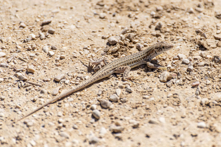 Close-up of lizard on sand