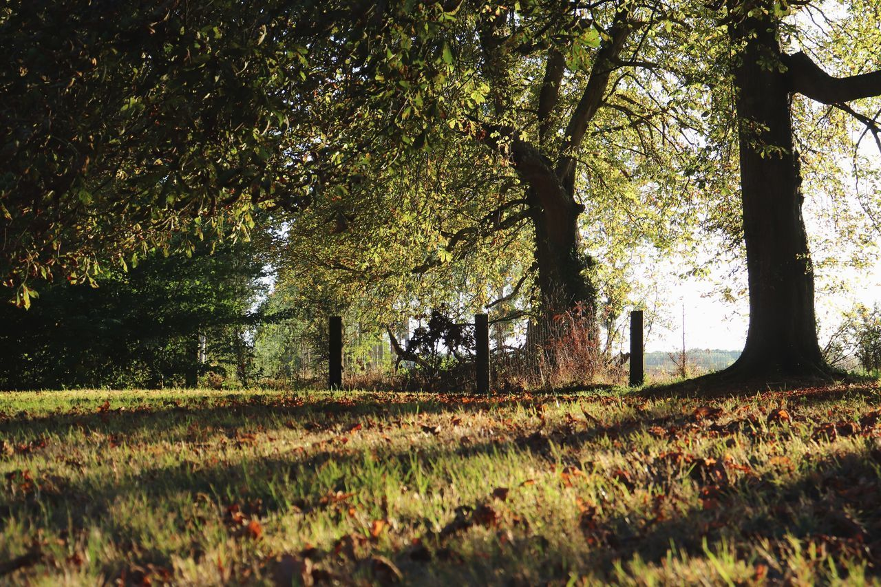tree, plant, nature, growth, land, tranquility, field, beauty in nature, grass, day, tree trunk, trunk, tranquil scene, landscape, no people, sunlight, outdoors, forest, scenics - nature, park, change, leaves