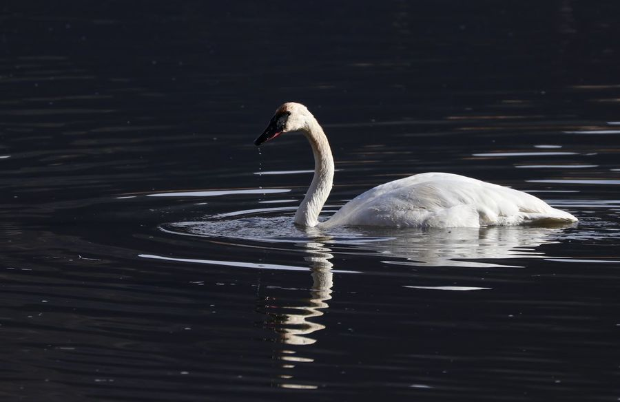 Trumpeter Swan Animal Wildlife Beauty In Nature Bird Close-up Swan Swimming Trumpeter Trumpeter Swan Water Water Bird
