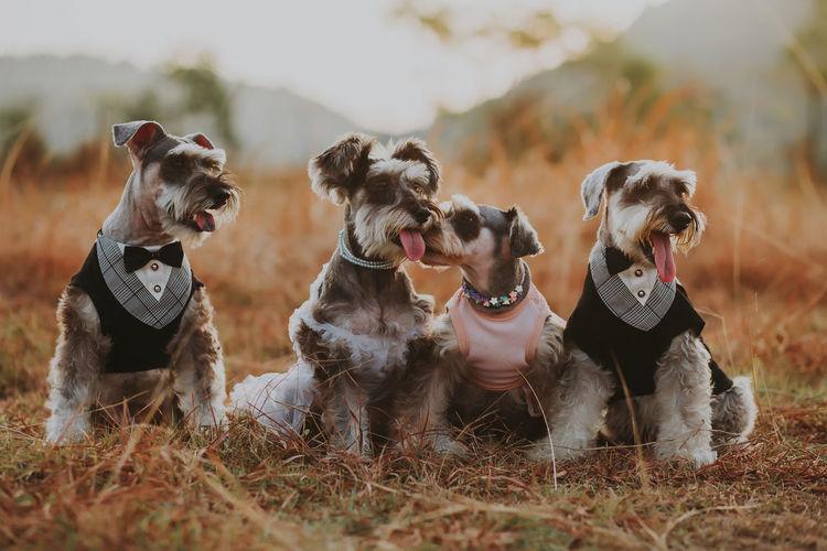 Dogs looking away on field