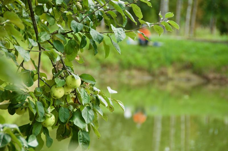 Cuntryside Cuntry Aple Tree Aples Fisherman Reflection Lake Water Tree Leaf Water Branch Close-up Green Color Plant Botanical Garden Botany In Bloom Apple Blossom