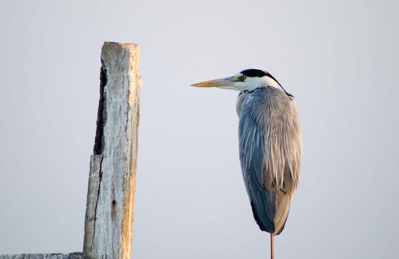 Close-up of grey heron