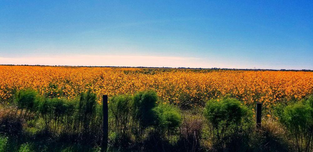 Rural Scene Agriculture Clear Sky Tree Field Vine - Plant Crop  Sky Landscape Plant